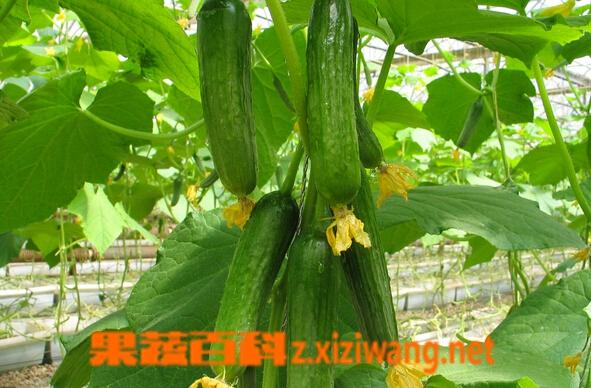 果蔬百科乳瓜怎么种植
