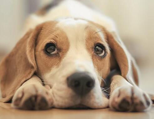 比格犬体臭严重吗?预防它体臭味的方法是什么?